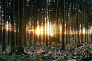 Sunset in snowy Spruce Forest: Sunset in natural Spruce Forest, late Autumn with little Snow but still green Plants on Ground