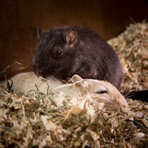 Gerbils cuddling: Two Gerbils in relaxed Mood