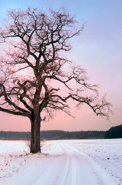 Old Oak Tree at Winter Sunset: Old Oak Tree in snowy Fields, Dirt Road, Winter Sunset