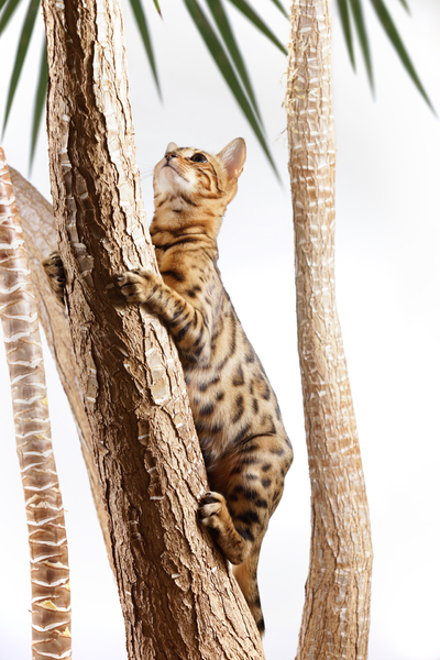 Bengal Cat climbing on Tree: Bengal Cat climbing on Trunk of a Yucca Tree