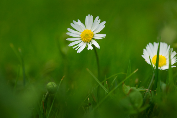 Daisy with crossed Petals: A lucky Daisy with crossed Petals, in a Lawn