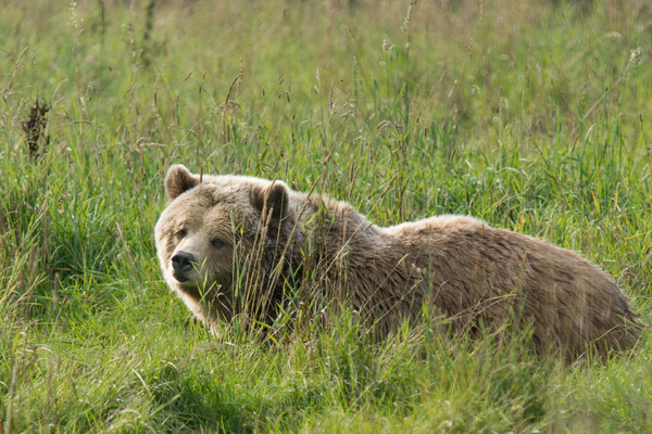 Brown Bear relaxing in the Gra: Young European Brown Bear relaxing in the Grass