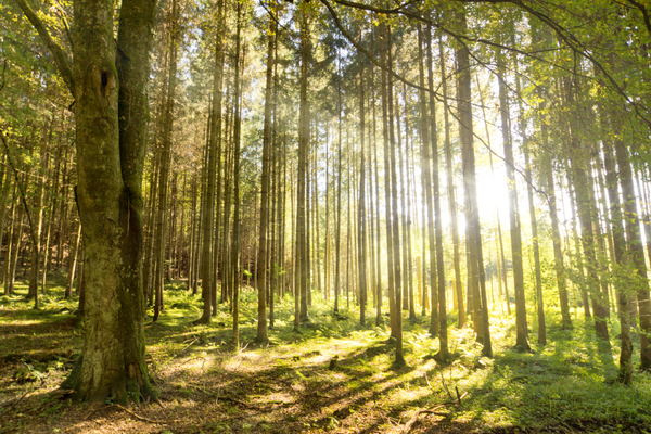 Morning Sun In Forest Free Stock Photos Rgbstock