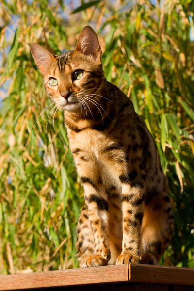 Bengal Cat on the Watch: Bengal Cat on the Watch, playing in Garden. Autumn Sunlight and Mood. Bamboo in Background.