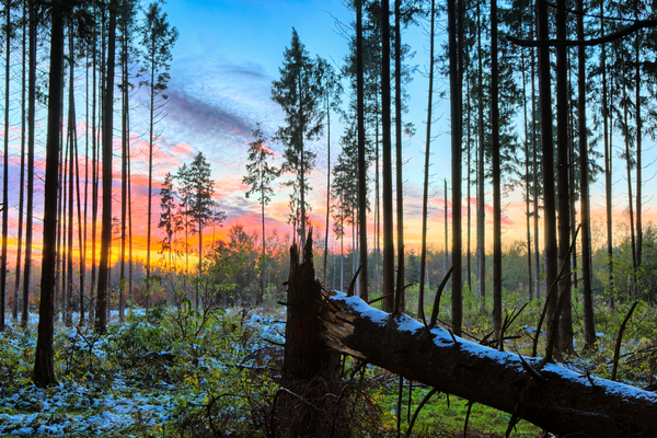 Sunset in snowy Spruce Forest: Sunset in natural Spruce Forest, broken Tree in Foreground. Late Autumn with little Snow but still green Leafs on Bushes