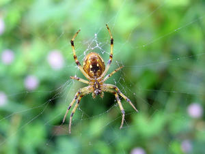spider: spider in the garden