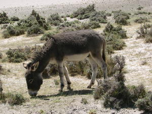 Donkey Grazing: Donkey Grazing around the sand dunes of Diskit, Ladakh.