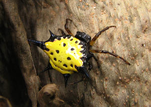 Exotic Spider: The Spiny Backed Orb Weaver