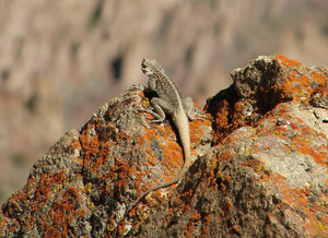 Himalayan Agama: A Himalayan agama basking in the sun in the higher reaches of the Himalayas.