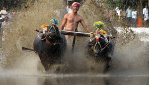 Buffalo Race: Kambala or Kambla is a traditional simple buffalo race in muddy waters, mostly a paddy field. It is the native sport of Tulu Nadu region of South India.