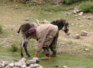 Mule Herder: Mule herder at a camp at Hemis National Park, Rhumbak Village in Ladakh region.