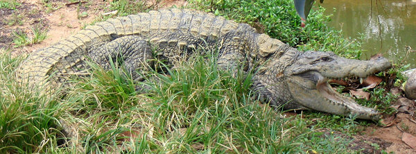 marsh crocodile: marsh crocodile by the puddle