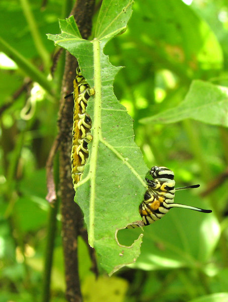Caterpillar in action: Caterpillar munching a leaf