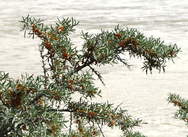 Sea-buckthorn Plants: Sea-buckthorn Plants on the banks of River Zanskar, Ladakh