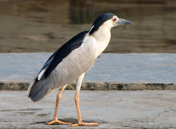Night Heron: Night Heron at the Wharf