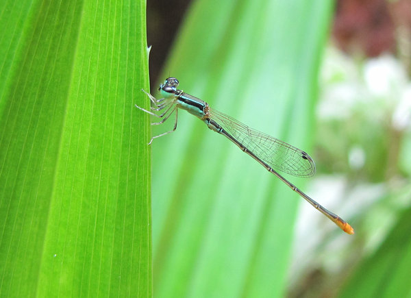 Damselfly: Did you know ?