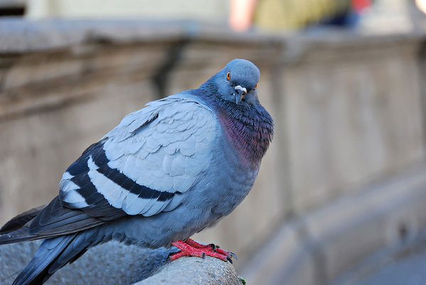 pigeon: found him in Padova,