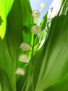 Lily of the Valley: My favorite flower