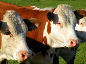 Cows: no description