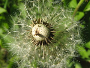 Dandelion: no description