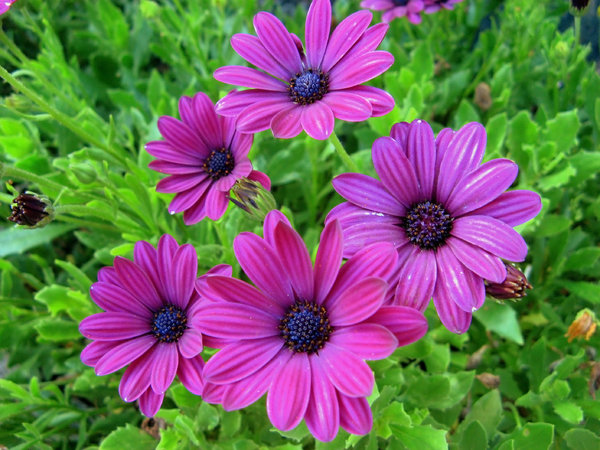Purple daisies: no description