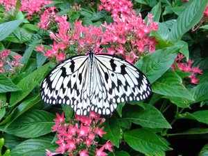 Tropical Butterfly: singaporean butterfly