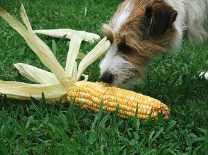 Dog and Corn: sniff, sniff