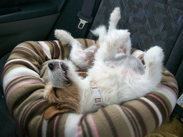 Laid Back Dog: the dog looks very relaxed in the car