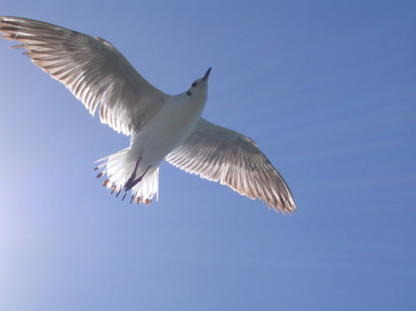 Sea gull 1: Seagull on flight