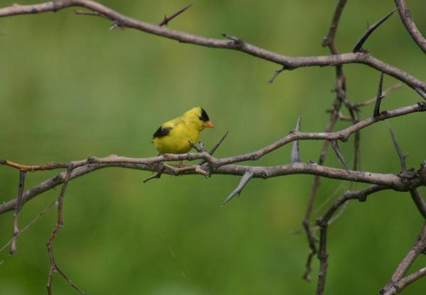 American Goldfinch: American Goldfinch