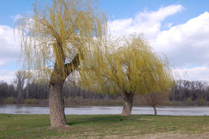 willow of spring: willow