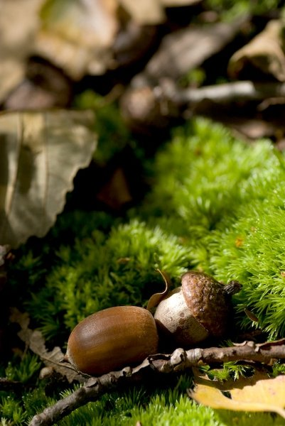 Acorn: Some acorn nuts in a green/autumn/fall environment.