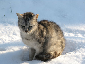cat in the snow: none