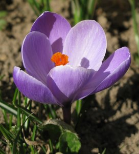 saffron flower: none