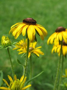 yellow coneflowers: none