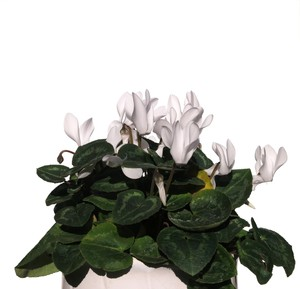 white cyclamen: none