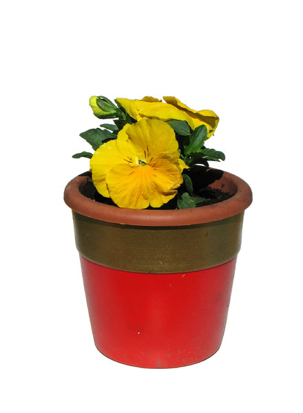 pansy in a pot: none