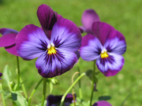 purple pansies: none