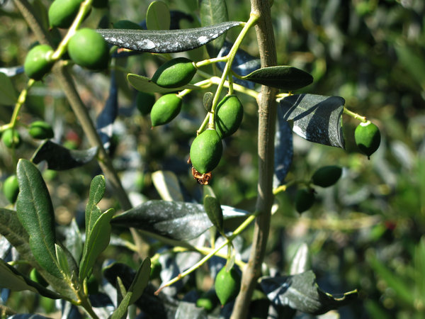olive tree: none