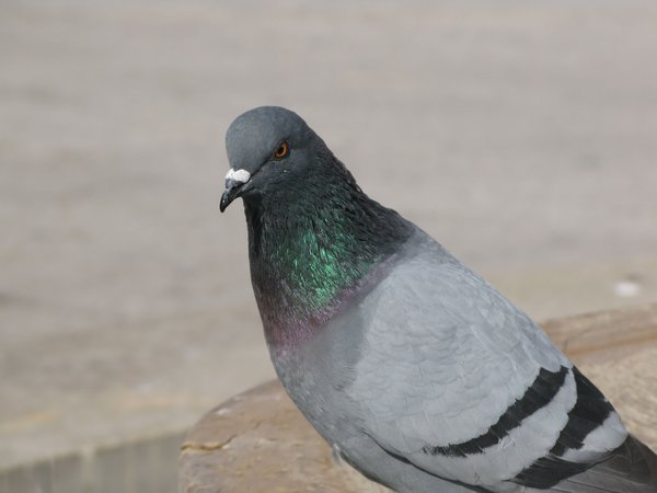 pigeon: none