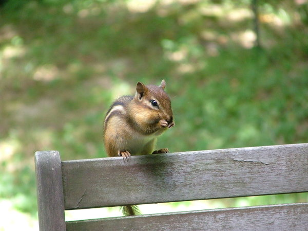 Chipmunk: chipmunk on the back of a chair