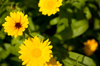 Yellow flowers: Wild yellow flowers