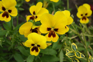 Yellow pansies: Some pansies in the garden