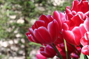 Red tulips in Lisse: This tulip is found in the forrest near by Keukenhof in Lisse in Holland