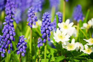 Spring flowers 1: Grape hyacinth and Wood anemomes, spring 2008