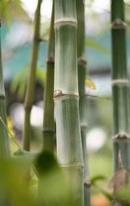 Bamboos In The Garden: Pretty bamboos photographed at the Orchid Gardens in Kuala Lumpur