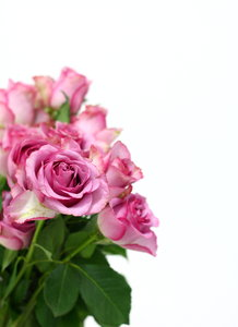 Pink Roses 2: