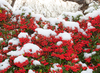 Pyracantha in the snow: 1st winter snow in South Wales, UK in october
