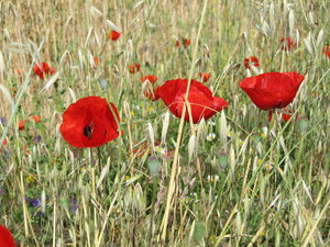 Poppies in a meadow: a poppy field in Calis, Turkey