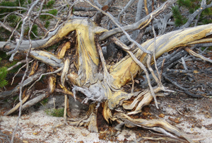 old tree trunk: old tree found in Yellowstone National Park